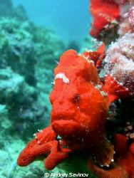 Red Frogfish by Andrey Savinov 